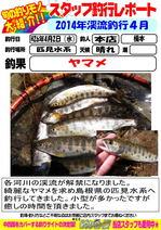 blog-honten-2014 4 yamame.jpg