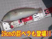 blog-20140827-ayumimaru-madai30.jpg