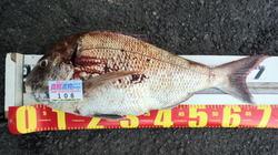 madai-NO3-shinohara.jpg