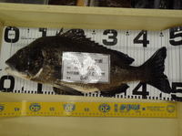 news-20131104-honten-matuisama 48.5cm.jpg