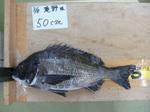 3.8滝野 様50cm.JPG